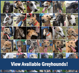 Available Greyhounds for Adoption